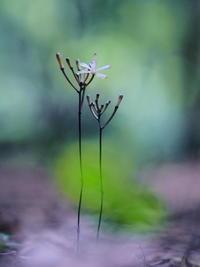 湿原にて(2)・・クロムヨウラン - 野路の花散策
