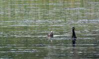 谷津干潟のウミネコ Black-tailed gull - 素人写人 雑草フォト爺のブログ