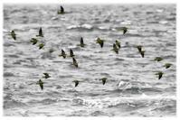 群れ飛ぶアオバト - コバチャンのBLOG