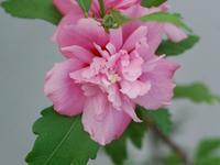 木槿 - 南都☆花模様