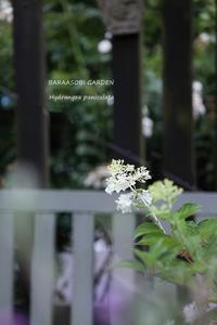 ノリウツギ - バラと遊ぶ庭