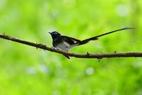 サンコウチョウ 羽繕い - 鳥さんと遊ぼう