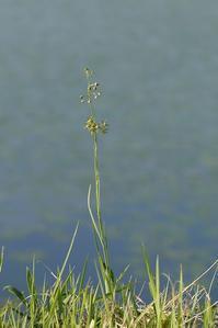スズサイコ - まぐの野の花図鑑
