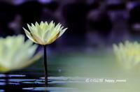 スイレン - 花々の記憶