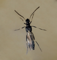 クロホソコバネカミキリ - 蝶と