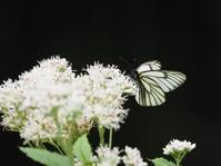 ミヤマシロチョウ - 風の翅