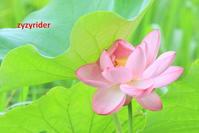 めげないで咲く(ハスの花) - ジージーライダーの自然彩彩