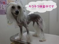 キラキラ✨パール (記録) - 毎日笑顔♪ 裸犬☆温・真珠・絆愛Ⅱ
