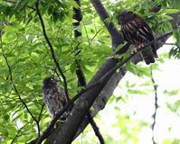 アオバズク巣立つ(その2)・・・ - 一期一会の野鳥たち