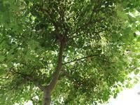 メトロキャンドルの木を見上げると・・・ - 小さな花アトリエ