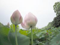 魚眼レンズで蓮の花 - スポック艦長のPhoto Diary