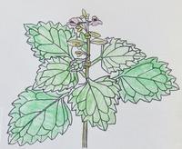 『自然画作品 彩色ペン画』 ミヤマナミキ - スケッチ感察ノート