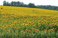 北竜町のひまわり畑 - 北国の花鳥風月