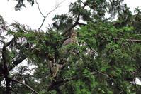 ササゴイ幼鳥 - 気ままな生き物撮り