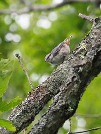 高原のゴジュウカラ - コーヒー党の野鳥と自然 パート2