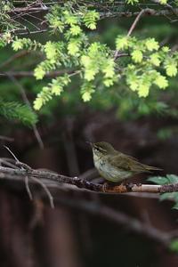 メボソムシクイ 初撮りが続きます - 野鳥公園