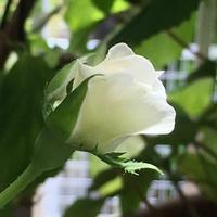 今朝のボレロ(薔薇) - いととはり