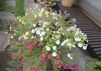 鉢で咲く花・・・ - 【出逢いの花々】