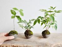 8月小さな苔玉盆栽作りのご案内 - Kitowaの日々