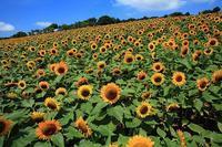 向日葵Ⅱ ~あわじ花さじき~ - 傍らにある風景