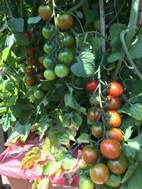 Tomato (トマト) - ファルマウスミー