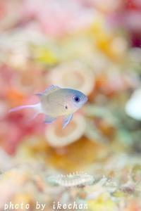 池ちゃんワールドの夢見る夢子ちゃん ~オナガスズメダイ幼魚~ - 池ちゃんのマリンフォト