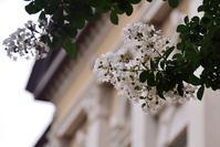 京都府庁旧館 白いサルスベリ - ちょっとそこまで