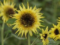 『フラワーパーク江南の色々な品種のヒマワリ達~』 - 自然風の自然風だより