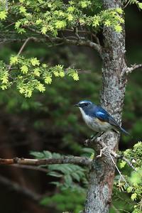 久しぶりのルリビタキ - 野鳥公園