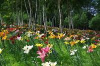 白樺林に咲くユリの花 - 季節の風を追いかけて