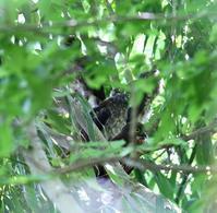 巣立ち雛が三羽?(その4) - 一期一会の野鳥たち