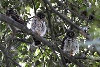 アオバズク - 私の鳥撮り散歩