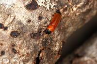 ツマグロツツカッコウムシ - Insect walk
