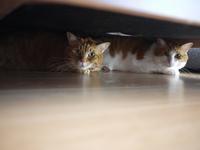 猫のお留守番 あずきくんきなこくん編。 - ゆきねこ猫家族