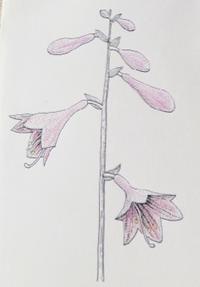 『自然画作品 彩色ペン画』 コバギボウシ - スケッチ感察ノート