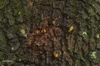 樹液に集う虫たち - 飛騨山脈の自然