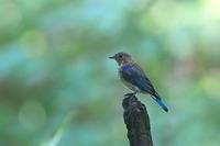 背中の斑模様が無くなったオオルリ オスの若 - 上州自然散策2
