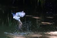 サンコウチョウの水浴 - サンヨン片手に自然散策