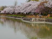 長岡天神の桜 - AppleRose