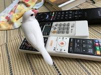 文鳥あるある?? - つれづれ日記