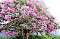 満開サルスベリの花と夏の週末家飲み - Parja's Diary