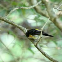 キビタキの若鳥 - モクもく写真館