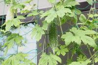 緑のカーテンに白いゴーヤ - にこにこ日和