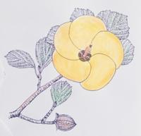 『自然画作品 彩色ペン画』 ハマボウ - スケッチ感察ノート