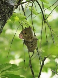 オオヒカゲの交尾に興奮 - 蝶超天国