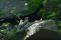 オオルリ幼鳥 その他の幼鳥 - 鳥さんと遊ぼう