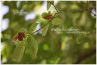 コブシの葉に - 明日には明日の風が吹く