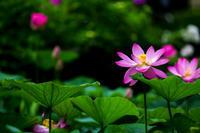 蓮! ~府立植物園~ - Prado Photography!