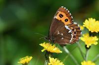 高山蝶を求めて  クモマベニヒカゲ - 旅のかほり