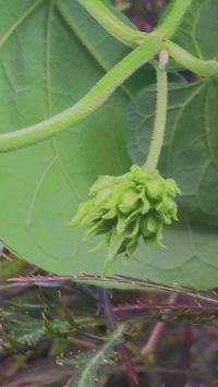 イエライシャンの花芽発見 & パクチー本葉展開。 - やまぼうし